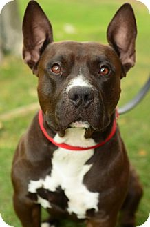 American Pit Bull Terrier Mix Dog for adoption in tucson, Arizona - Coach