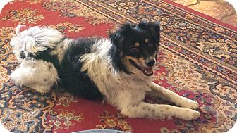 Australian Shepherd Mix Dog for adoption in Apache Junction, Arizona - Capone