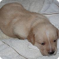 Adopt A Pet :: Emily Dickinson - Hanover, PA