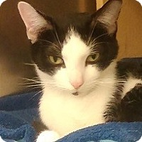 Domestic Shorthair Cat for adoption in Naperville, Illinois - Baxter-CALM LAP-SIZED CUTIE