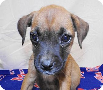 Boxer Mix Puppy for adoption in Oxford, Mississippi - Jennifer