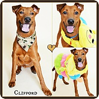 Labrador Retriever/Redbone Coonhound Mix Dog for adoption in Phoenix, Arizona - Clifford