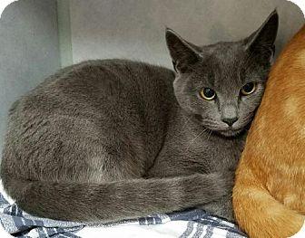 Domestic Shorthair Cat for adoption in Manteo, North Carolina - Peridot