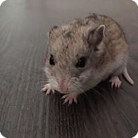 Adopt A Pet :: Teenie - Williston, FL