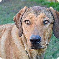 Adopt A Pet :: Marley - Aubrey, TX