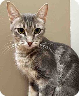 Domestic Shorthair Cat for adoption in Shorewood, Illinois - Agnes