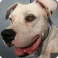 Adopt A Pet :: Bodie! 74 lbs! - St Petersburg, FL