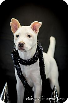 Shar Pei Mix Puppy for adoption in Little Rock, Arkansas - Ava Gardner