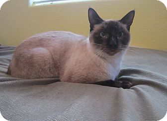 Siamese Cat for adoption in Davis, California - Elsie