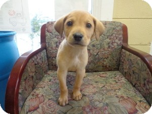 Retriever (Unknown Type) Mix Puppy for adoption in Crawfordville, Florida - Aidan