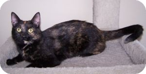 Domestic Shorthair Cat for adoption in Colorado Springs, Colorado - Jacstar