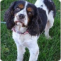 Adopt A Pet :: Charley purebred - Sacramento, CA