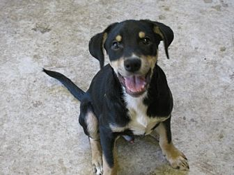 Rat Terrier/Hound (Unknown Type) Mix Dog for adoption in Snellville, Georgia - Ferb