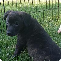 Adopt A Pet :: Sue Storm (Invisible Woman) - Mechanicsburg, PA