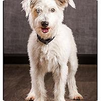 Adopt A Pet :: Bolt - Owensboro, KY