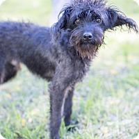 Adopt A Pet :: Tiny Tim - Encino, CA