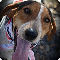 Bluetick Coonhound Mix Dog for adoption in Muldrow, Oklahoma - Fenway