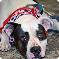 Adopt A Pet :: Darla - Albemarle, NC