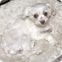 Adopt A Pet :: Adam Puppymill - Encino, CA