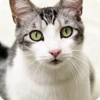 Domestic Shorthair Cat for adoption in Portland, Oregon - Sid