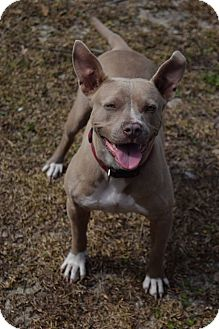 Pit Bull Terrier Dog for adoption in Little River, South Carolina - Sheeba