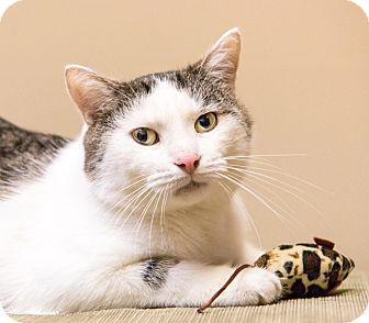 Manx Cat for adoption in Chicago, Illinois - Bobbert