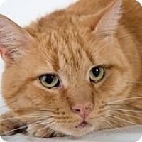 Domestic Shorthair Cat for adoption in Lambertville, New Jersey - Mac