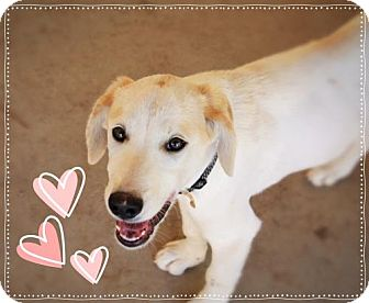 Labrador Retriever/Labrador Retriever Mix Dog for adoption in Chandler, Arizona - DREW - Fun Puppy!