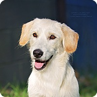 Petit Basset Griffon Vendeen Mix Dog for adoption in Cincinnati, Ohio - Maci