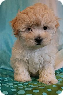 Shih Tzu/Poodle (Miniature) Mix Puppy for adoption in Southington, Connecticut - Spooky