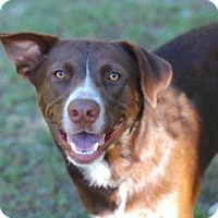 Labrador Retriever Mix Dog for adoption in Franklin, Tennessee - BUCK