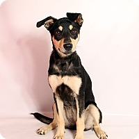 Adopt A Pet :: Bella Shepherd Mix - St. Louis, MO