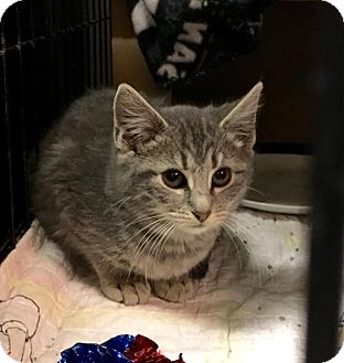 Domestic Shorthair Kitten for adoption in East Brunswick, New Jersey - Miles