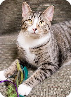 Domestic Shorthair Cat for adoption in Chicago, Illinois - Will