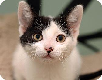 Domestic Shorthair Kitten for adoption in Royal Oak, Michigan - PEPPER JACK