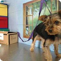 Yorkie, Yorkshire Terrier Mix Puppy for adoption in San Bernardino, California - URGENT on 12/3 SAN BERNARDINO