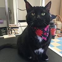 Domestic Shorthair Cat for adoption in Herndon, Virginia - Pearl