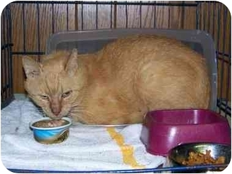 Domestic Shorthair Cat for adoption in Syracuse, New York - Oscar