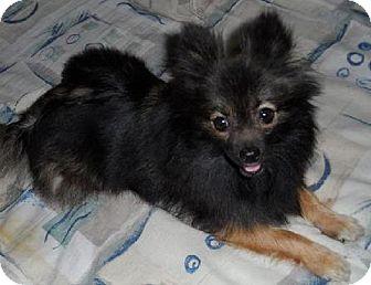Pomeranian Dog for adoption in El Cajon, California - CAROLINA