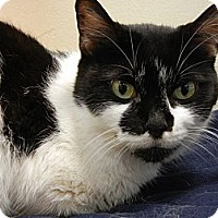 Domestic Shorthair Cat for adoption in Miami, Florida - Estelle