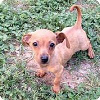 Adopt A Pet :: Hemingway - Austin, TX
