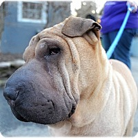 Shar Pei Dog for adoption in Huntington, New York - Mindy