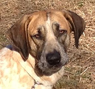 Redtick Coonhound Mix Dog for adoption in Hagerstown, Maryland - Cisco
