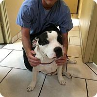 Boxer/Pit Bull Terrier Mix Dog for adoption in Phoenix, Arizona - Nina