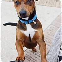 Dachshund/Chihuahua Mix Dog for adoption in Fredericksburg, Texas - Tex
