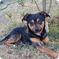 Adopt A Pet :: Sheldon - Phoenix, AZ