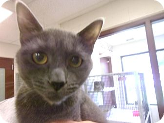 Domestic Shorthair Cat for adoption in Muscatine, Iowa - Jill