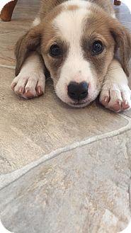 Pit Bull Terrier/Labrador Retriever Mix Puppy for adoption in Regina, Saskatchewan - Lucy