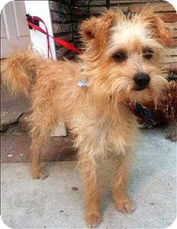 Terrier (Unknown Type, Small) Mix Dog for adoption in Encino, California - Bam Bam