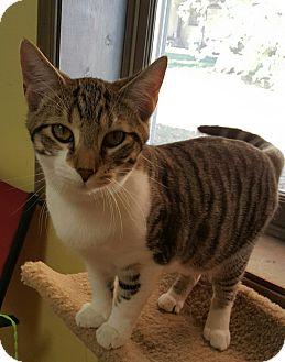 "Domestic Shorthair Cat for adoption in Scottsburg, Indiana - ""  BamBam """
